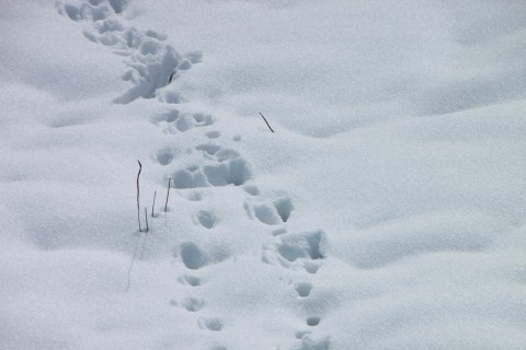 Cat-Footprints-in-Snow__15619-480x320.jpg