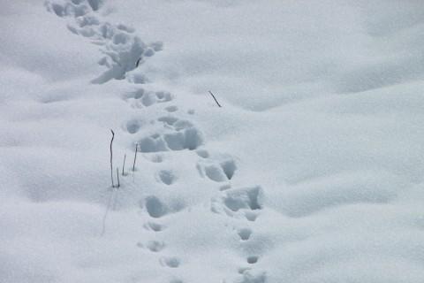 Cat-Footprints-in-Snow__15619-480x320.jpg